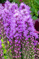 Liatris spicata Kobold gayfeather flower in bloom