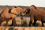 Elephants tussle after bathing in the Chobe River, Botswana.