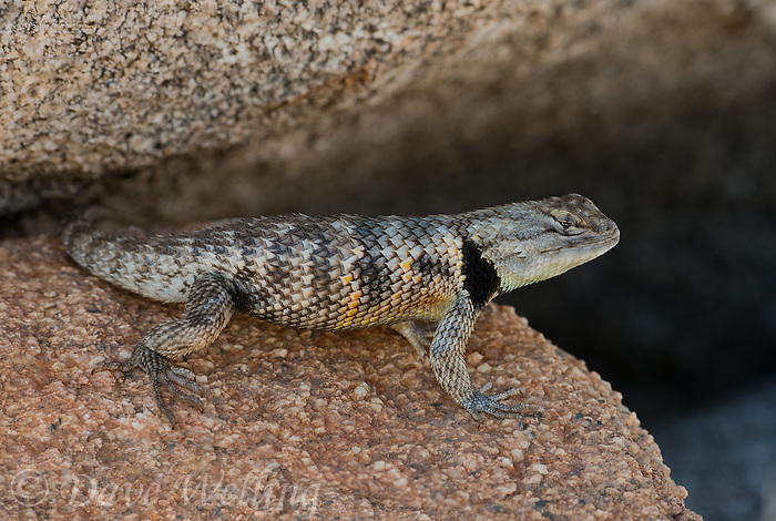 442800040 a wild yellow-backed spiny lizard sceloparus uniformis sits by a large granite rock near big pine in inyo county california