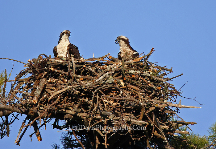 Osprey Pair in Nest  #B23