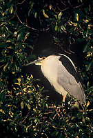 548007111 a wild male black-crowned night heron nicticorax nicticorax in breeding plumage perches in a tree in santa barbara county california united states