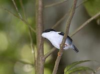 White-bearded Manakin - Manacus manacus trinitatis