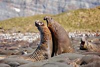 South Georgia Island, Gold Harbor, Southern elephant seal (Mirounga leonina) bulls fighting for dominance
