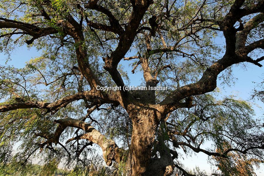 Israel, the Shephelah. Jujube tree in Tel Hadid
