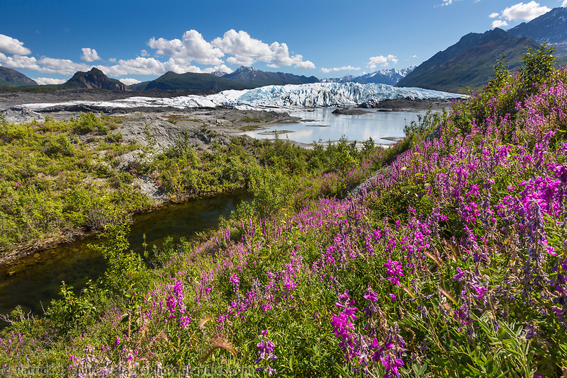 Eskimo potato blossoms near the Matanuska glacier in the Chugach mountains, southcentral, Alaska.