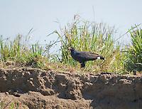 Common black hawk, Buteogallus anthracinus. Tarcoles River, Costa Rica