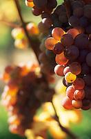 Europe/France/Alsace/67/Bas-Rhin/Heiligenstein : La route des vins - Détail raisin