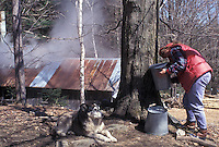 sugaring, Vermont, VT, Woman collecting sap from a maple tree during sugaringtime on Carpenter Farm in Cabot in the early spring. Sugarhouse steaming in the background.