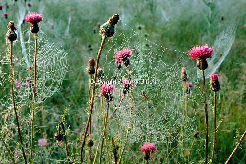 Spiderwebs in Wheeler's thistle<br />