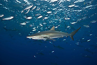 RM0880-D. Silky Sharks (Carcharhinus falciformis), feeding on small fish (juvenile Bigeye Jacks, Caranx sexfasciatus) in baitball. Baja, Mexico, Pacific Ocean. <br /> Photo Copyright &copy; Brandon Cole. All rights reserved worldwide.  www.brandoncole.com