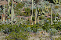 Coyote in Sonoran Desert habitat, Organ Pipe Cactus National Monument, Arizona.