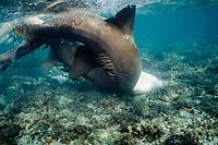 nurse sharks, Ginglymostoma cirratum, male pushing female into bottom during mating, Florida Keys, Florida, Atlantic Ocean