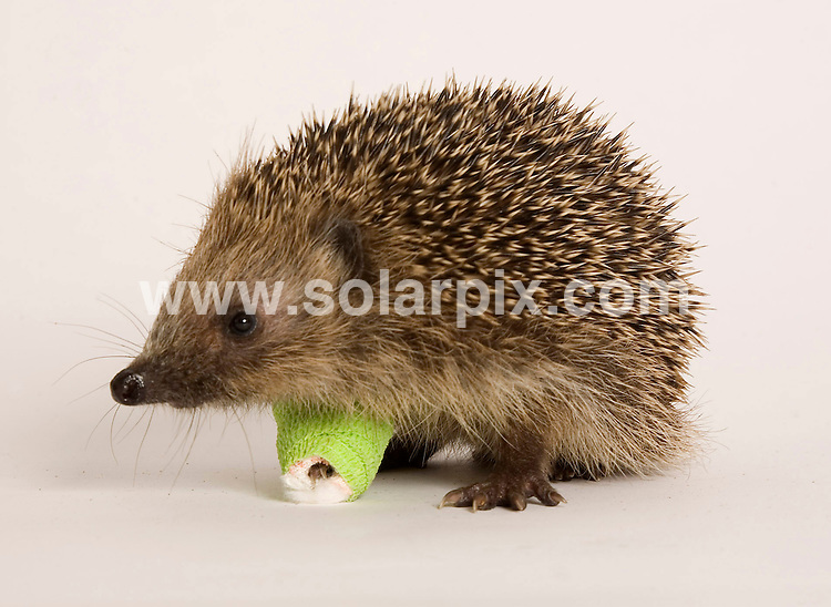**ALL ROUND PICTURES FROM SOLARPIX.COM**.**NO UK NEWSPAPER PUBLICATION **UK MAGAZINE PUBLICATION ONLY** AND NO PUBLICATION IN FRANCE, SCANDINAVIA, AUSTRALIA AND GERMANY** .These poor hedgehogs are three of many that have been arriving at St Tiggywinkles with broken bones. The animal wildlife hospital have seen a huge rise in the number of casualties due to the this years much warmer autumn...Hedgehogs should be hibernating at this time of year but due to the change in climate they are out and about and become RTA victims or involved in garden accidents...JOB REF: 5447 SFE       DATE: 03_12_2007.**MUST CREDIT SOLARPIX.COM OR DOUBLE FEE WILL BE CHARGED* *UNDER NO CIRCUMSTANCES IS THIS IMAGE TO BE REPRODUCED FOR ANY ONLINE EDITION WITHOUT PRIOR PERMISSION*