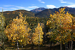 Aspen trees displaying their autumn colors along the road to Pikes Peak, Colorado Springs, Colorado, USA