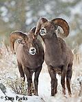 Two bighorn sheep rams exhibiting flehmen response during the rut. Yellowstone National Park, Wyoming.