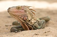 Iguana<br />
