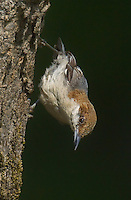 561210006 a wild brown-headed nuthatch sitta pusilla perches on a long-leaf pine pinus palustris in the angelina national forest in jasper county east texas