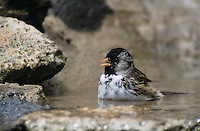 Harris's Sparrow, Zonotrichia querula, adult bathing, South Ilano River State Park, Texas, USA