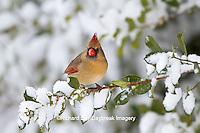 01530-20907 Northern Cardinal (Cardinalis cardinalis) female in American Holly (Ilex opaca) in winter, Marion Co., IL