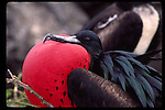 Great frigate bird in the Galapagos