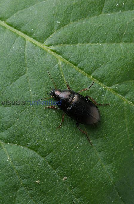 Black Ground Beetle on a leaf (Amara), Virginia, USA.