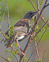 Five striped sparrow