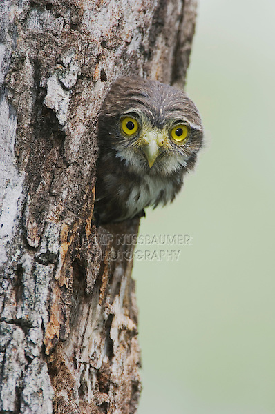 Ferruginous Pygmy-Owl, Glaucidium brasilianum, young in nesting cavity, Willacy County, Rio Grande Valley, Texas, USA