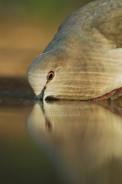 White-tipped Dove (Leptotila verreauxi),adult drinking, Rio Grande Valley, Texas, USA