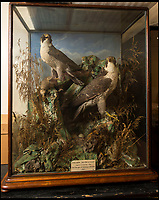 BNPS.co.uk (01202 558833)<br /> Pic: PhilYeomans/BNPS<br /> <br /> History repeating itself - These two Cathedral Peregrines found in Salisbury Museum were shot and stuffed in the 1850's...<br /> <br /> On a wing and a prayer...Salisbury Cathedral's Peregrine falcon takes to the skies once more after being illegally shot down.<br /> <br /> 'Peter' the peregrine has been nursed back to health after miraculously recovering from being illegally shot.<br /> <br /> Peter was one of the first peregrine chicks to be hatched on the tower at historic Salisbury Cathedral, Wilts, for more than six decades.<br /> <br /> But the two-year-old bird was found gravely injured by 18-year-old Shannon Hamshare 12 miles away on farmland near Stockbridge, Hants, in March this year.<br /> <br /> He was taken to the nearby Hawk Conservancy Trust where X-rays showed the protected bird of prey had a stable fracture wing that was consistent with a gunshot wound. <br /> <br /> Peter was nursed back to health and released in meadow.