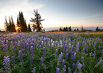 Idaho, Central, Cascade, Boise National Forest, Granite Mountain. A wildflower meadow of silky lupine at dawn in summer.