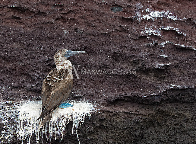 The blue-footed booby is one of the more famous residents of the Galapagos Islands.