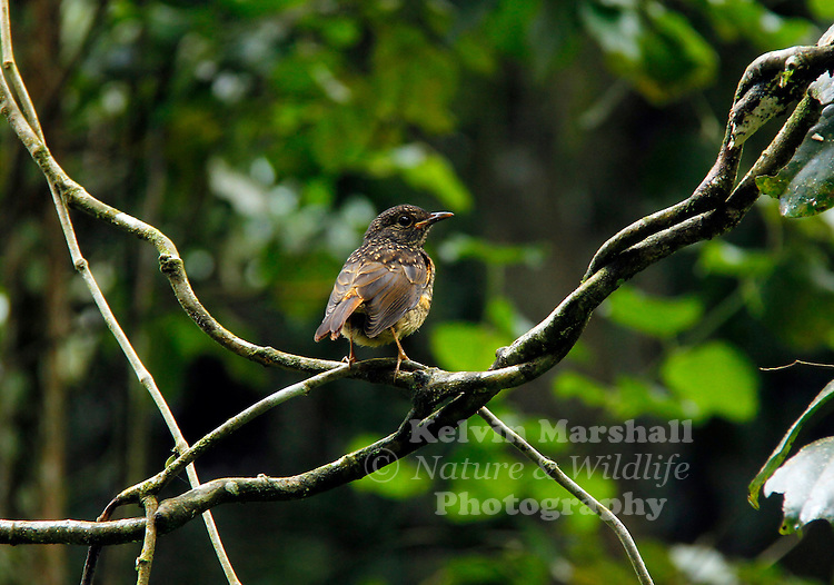 The Amber Mountain Rock-thrush (Monticola erythronotus) is restricted to a single mountain, the Amber Mountain massif in northern Madagascar, and it probably has an extent of occurrence of less than 400 km2. The total population is estimated to number less than 5,000 individuals, which occur in a single block of forest on the upper slopes of one mountain, and may be declining, although so far there has been relatively low levels of habitat loss