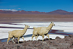 Bolivia, Altiplano, Llamas at Laguna Colorada