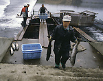 A hatchery worker carries a couple of 14-pound salmon at  the Towada Salmon Hatchery along the banks of the Oirase River near Towada, Japan where volunteers catch salmon to fertilize eggs. 30 million young salmon each year are placed in the Oirase River to help in Japan's conservation efforts to replace the salmon taken for food. Most of their work is done during the salmon-spawning season during the fall as the fish begin their annual trek and battle their way through rushing currents and over boulders several miles upstream from the mouth of the river past the hatchery to spawn. (Jim Bryant Photo).....