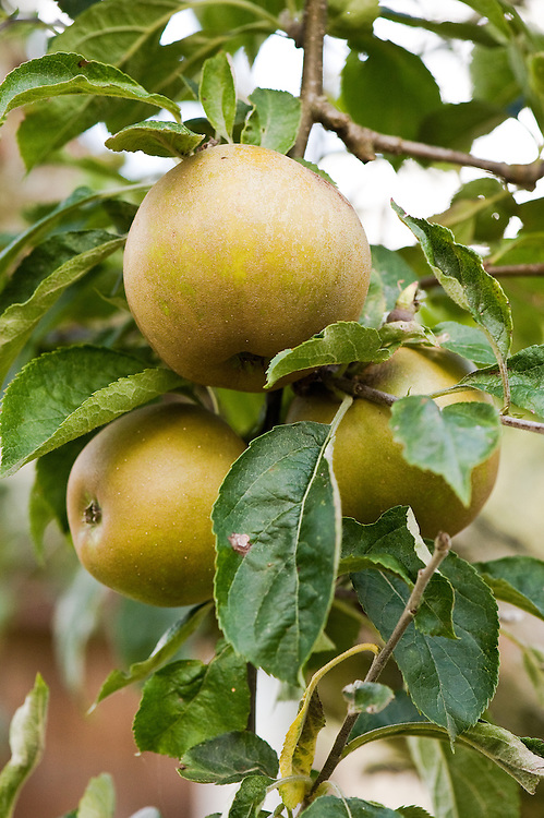 Apple 'Golden Russet', late September. An American variety that originated in upstate New York in the 19th century.
