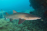 The Sand tiger shark or Spotted ragged-tooth shark (Carcharias taurus) belongs to the family of &laquo;&nbsp;Odontaspididae&nbsp;&raquo;. He is present in three big oceans, Red Sea and in the Mediterranean Sea. He can live more than 20 years for a maximum size of 2,80m, sometimes more of 3m.<br />