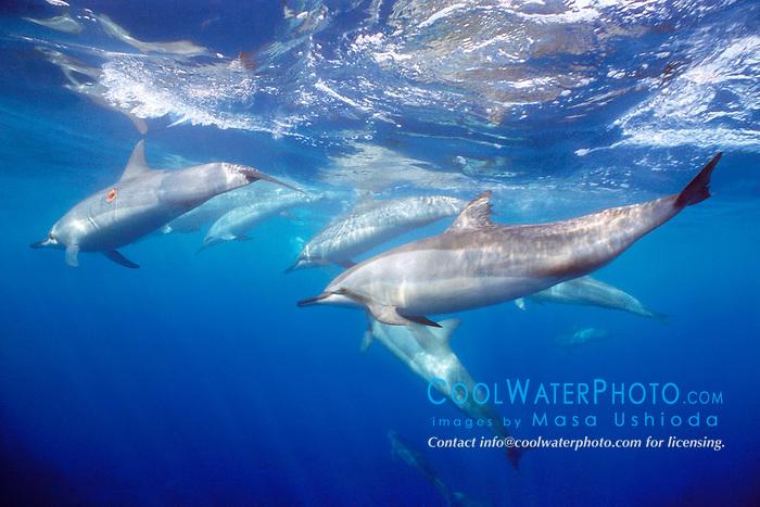 spinner dolphins, .Stenella longirostris, .Kona, Big Island, Hawaii (Pacific).