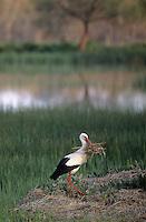 Weiss-Storch, Weissstorch, Weiß-Storch, Weißstorch, Storch, sammelt Nistmaterial für Nestbau, Ciconia ciconia, white stork