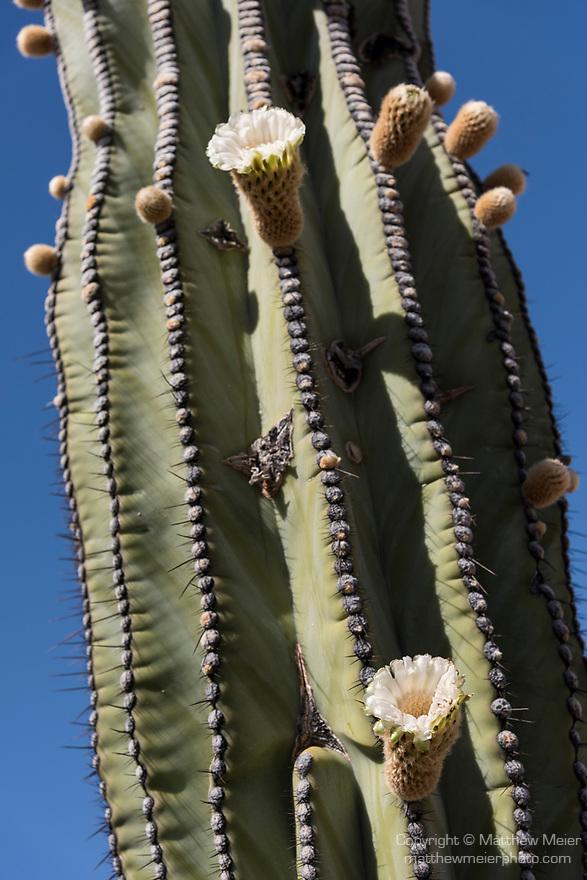 Catavina, Baja California, Mexico; detail view of Cardon cactus flowers