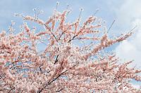 Nederland Amstelveen  2016 04 09 . Bloesempark in het Amsterdamse Bos.  Cherry Blossom Festival in Amstelveen.