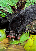 MB10-001z   Star-nosed Mole - drinking from pool - Condylura cristata