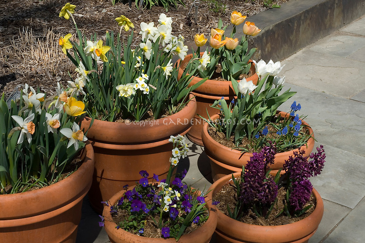 Spring bulbs in pots on patio plant flower stock photography - Planting hyacinths pots ...