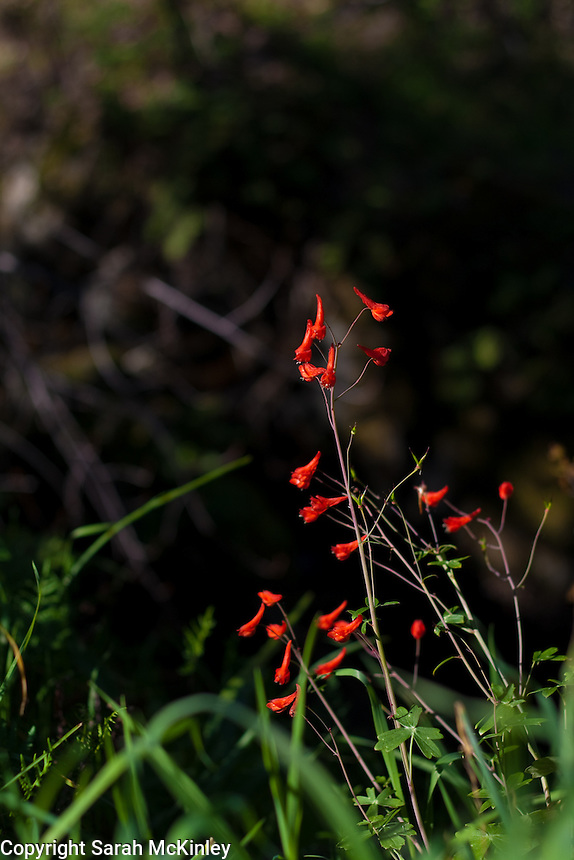 Bright red cañon delphinium grows on a bank at Low Gap Park in Ukiah in Mendocino County in Northern California.