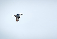 Belted Kingfisher in flight in Viera Wetlands, Florida