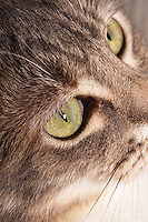 This vertically-cropped image is a closeup of a blue patched tabby and white domestic shorthair cat's face, focusing on the eye.  I don't take too many vertical images of my cats up close, and often don't like them, but this is an exception.