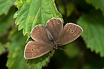 Ringlet Butterfly, Aphantopus hyperantus, The Larches, Kent Wildlife Trust, UK