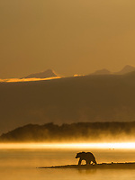 Morning fog rises over Naknek lake at sunrise as a brown bear fishes for salmon. Katmai National Park, southwest, Alaska.