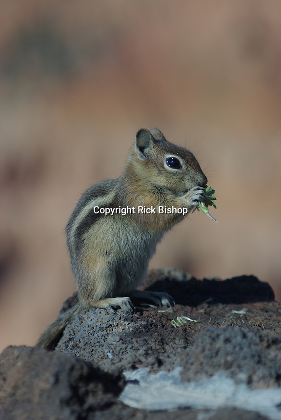 Golden-Mantled Ground Squirrel (Spermophilus Lateralis) feeds an a rock in Utah on a summer day.