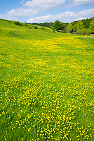 Rural scene of spring and summer buttercups - Ranunculus - on meadow slope in Swinbrook, in The Cotswolds, England, UK