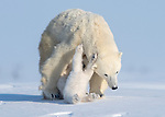 Polar bear cubs use mum as a climbing frame before taking a tumble by Hao Jiang